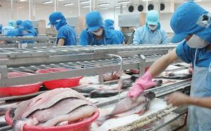 Pangasius exports are much better than expected