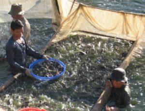 Đồng Tháp: Cấp mã số nhận diện ao nuôi cá tra đạt gần 100% diện tích